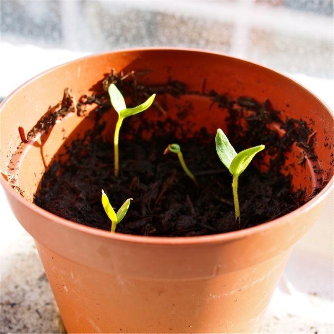 Aubergine Seedlings