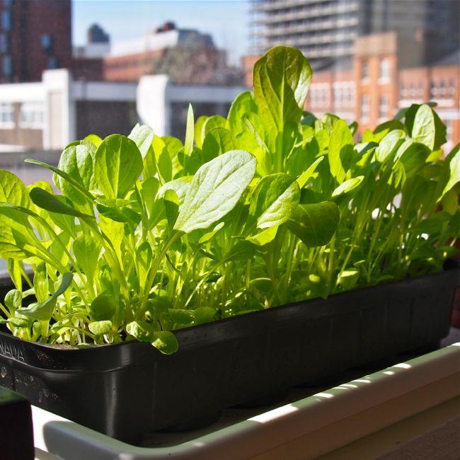 Baby Leaf Lettuce 3 Weeks