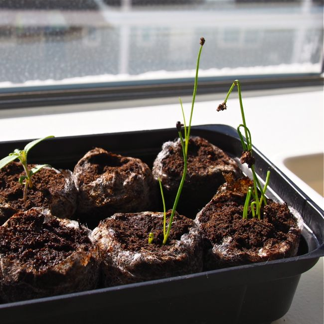 Chinese Chives 3 Weeks