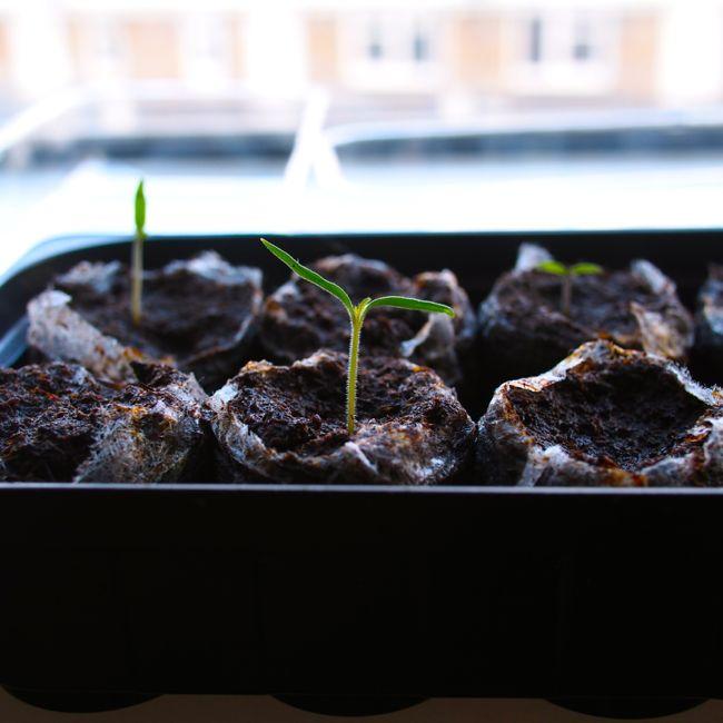 Tomato Seedlings Windowsill Garden