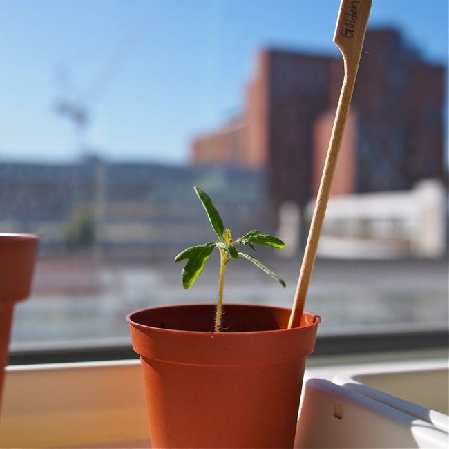 Tomato Seedlings 3 Weeks