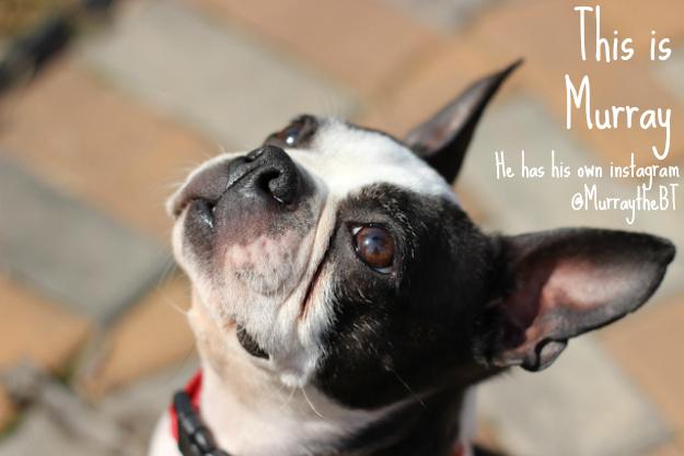 Murray the Boston Terrier